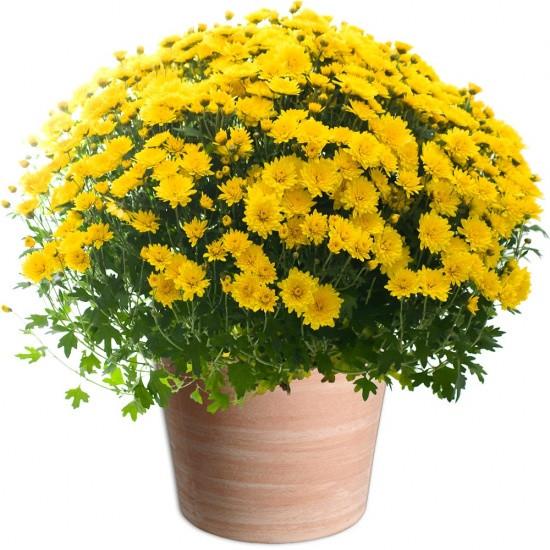 chrysanth mes fleurs toussaint marseille. Black Bedroom Furniture Sets. Home Design Ideas